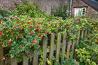Rosa rugosa Rugosa rose in rosehips in autumn with one flower, leaves turning color, picket fence, stone wall of house, along property border