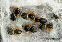 JS01-092x  Jumping Spider - young spiderlings protected in nest -  Phidippus clarus