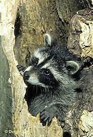 MA25-033z  Raccoon - young raccoon  in hollow tree cavity - Procyon lotor