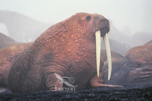 Walrus bull (Odobenus rosmarus), Alaska in fog caused by mass of warm walruses bodies and cool air.