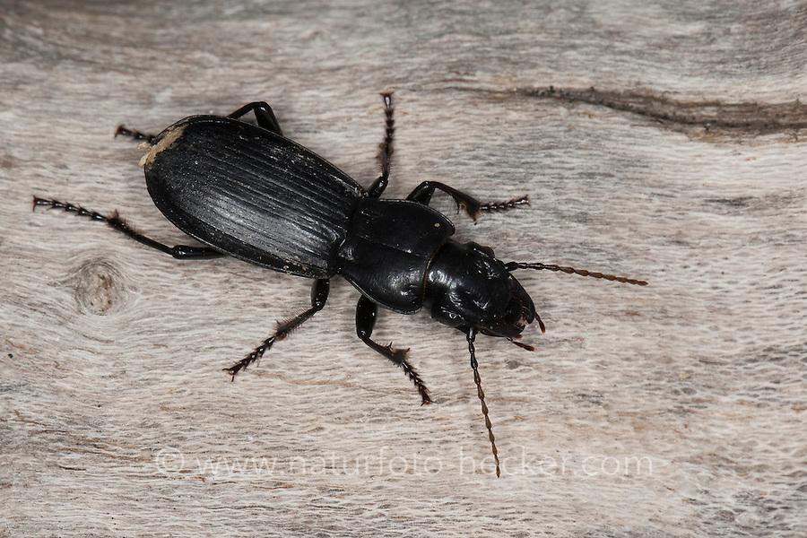 Laufkäfer, Percus spec., ground beetle, ground-beetle