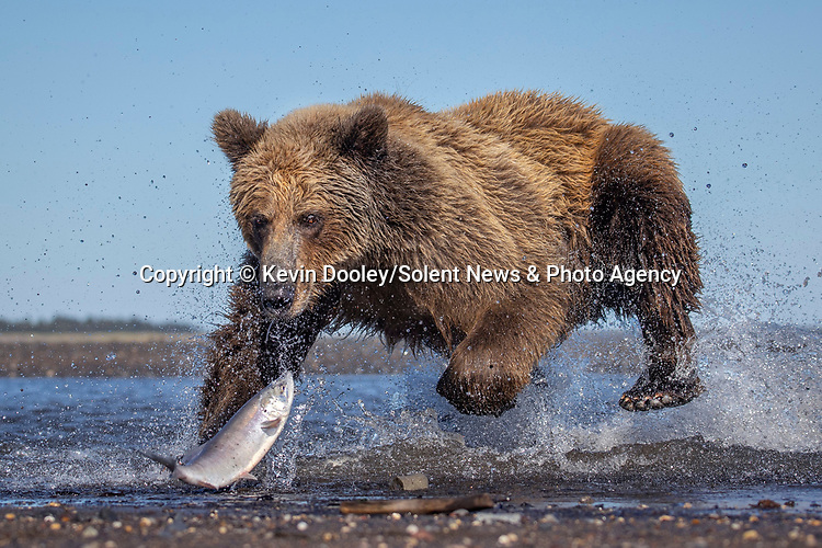 Pictured: The bear running towards the fish which swim close to the shore edge.  Sequence 4 of 10.<br /> <br /> A brown bear struggles to catch a thrashing salmon as the fish tries to escape its deadly paws.  The fish are a vital part of this young male's diet, providing up to nine pounds of fat each day which is necessary to survive the harsh Alaskan winter.<br /> <br /> Though the fish often slip away, this one was caught by the bear on his second attempt.  The photographs were taken by professional wildlife photographer Kevin Dooley in Southwest Alaska, in the United States.  SEE OUR COPY FOR DETAILS.<br /> <br /> Please byline: Kevin Dooley/Solent News<br /> <br /> © Kevin Dooley/Solent News & Photo Agency<br /> UK +44 (0) 2380 458800