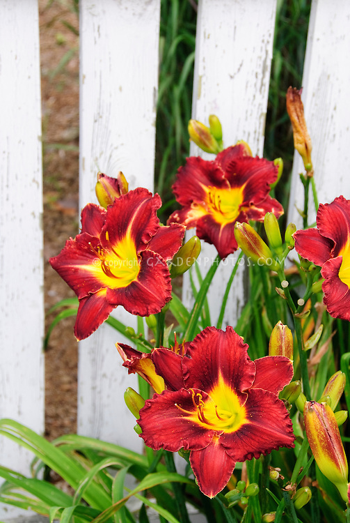Red daylily plant Hemerocallis in bloom growing next to white picket fence