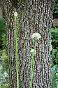 White Allium stipitatum 'Mount Everest' against the trunk of a pear tree, Laurent-Perrier Bicentenary Garden, designed by Arne Maynard, RHS Chelsea Flower Show 2012.