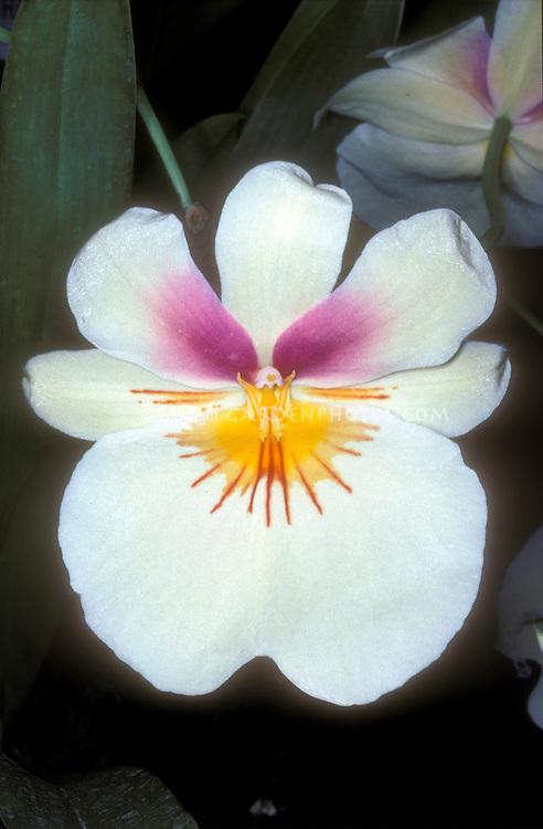 Miltonia Capitola 'Akatsuka', HCC/AOS Orchid hybrid Pansy Orchid