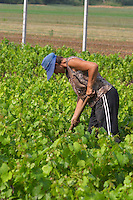 A woman vineyard worker tending to the vines with a tool. Head protected by a blue cap against the heat. Fidal vine nursery and winery, Zejmen, Lezhe. Albania, Balkan, Europe.