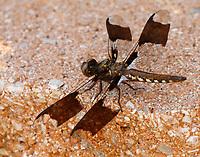 Common whitetail skimmer male