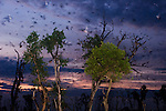 Straw-coloured Fruit Bats (Eidolon helvum) returning to their daytime roost at sunrise. Kasanka National Park, Zambia.