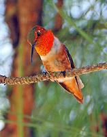 Adult male Allen's hummingbird
