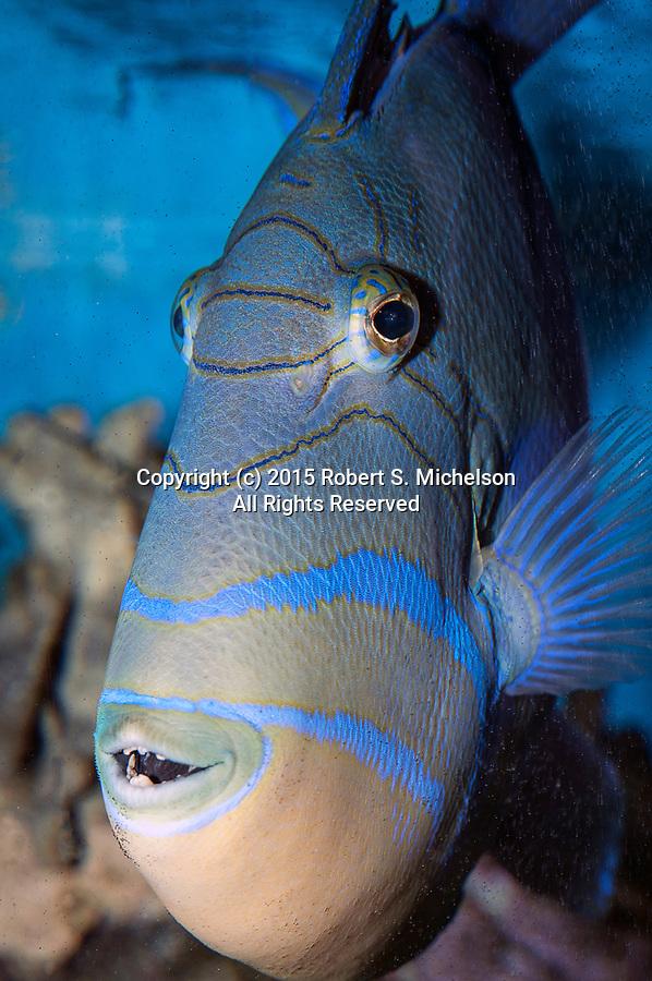 Queen triggerfish facing camera veritcal