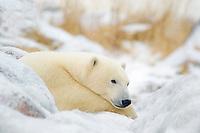 Polar Bear, Ursus maritimus, resting on ice covered rock near Hudson Bay coast, Churchill, Manitoba, Canada, polar bear, Ursus maritimus