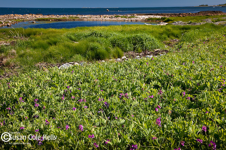 Sweet Pea growing in the Petit Manan Unit, Maine Coastal Islands National Wildlife Refuge, Steuben, ME