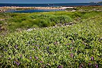Sweet Pea growing in the Petit Manan Unit, Maine Coastal Islands National Wildlife Refuge, Steuben, ME