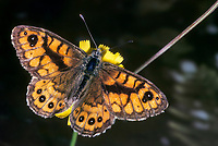 Mauerfuchs, Lasiommata megera, Wall Brown, Wall Brown Butterfly