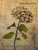 Assaf, FLOWERS, BLUMEN, FLORES, paintings,+Color, Colour Image, Dried, Floral, Flower, Flower Head, Flowers, Handwriting, Hydrangea, Hydrangeas, Leaves, Message, Old Fa+shioned, Photography, Retro, Single Flower, Single Object, Text, Vintage,Color, Colour Image, Dried, Floral, Flower, Flower H+ead, Flowers, Handwriting, Hydrangea, Hydrangeas, Leaves, Message, Old Fashioned, Photography, Retro, Single Flower, Single O+bject, Text, Vintage+,GBAFAF20140730B,#f#, EVERYDAY