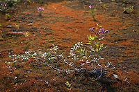 Fireweed and alder take hold on  bits of moraine   amid a blooming bed of moss.