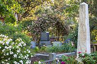 'Souvenir de Mme Leonie Viennot', old clinbing tea rose on trellis  in Sacramento Old City Cemetery; 'Marie' Pavie' white rose