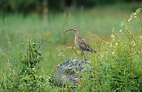 Großer Brachvogel, Numenius arquata, curlew