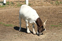 Boer Goat farm animals in paddock eating hay, aka Africander, Afrikaner, South African common goat breed