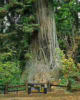 "California's coast redwood (Sequoia semperviren) tree.  ""Big Tree"" at Prairie Creek State Park, CA."