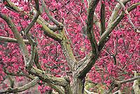 Malus 'Liset'-pink Flowering Crabapple tree in San Francisco Botanical Garden