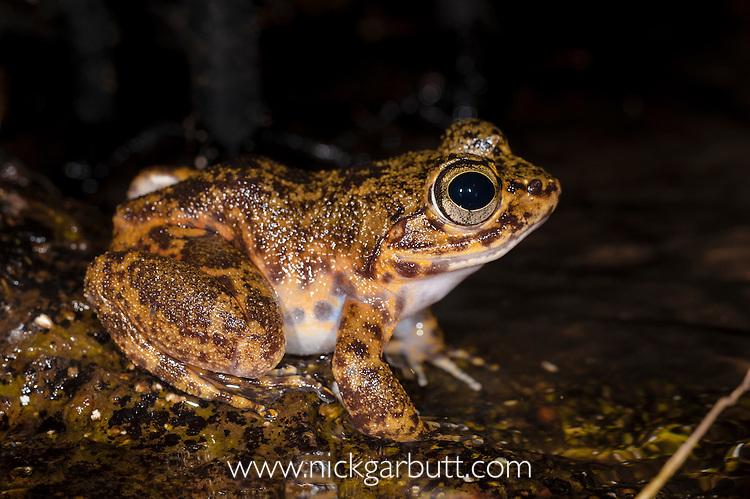 Madagascar Giant Stream Frog (Mantidactylus guttulatus) - Madagascar's largest native frog. Active at night on banks of small stream in rainforest. Marojejy National Park, Madagascar.