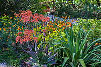 Aloe maculata (aka A. saponaria) Soap aloe or zebra aloe flowering succulent with poppies and euphorbia; McAvoy Garden - California summer-dry garden; Ground Studio Landscape Architecture