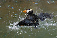 Tufted Puffin (Fratercula cirrhata) bathing or grooming