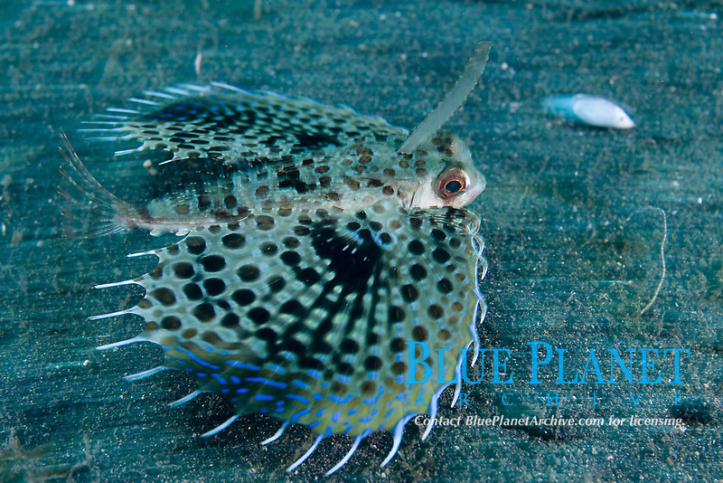 Helmut Gurnard, Dactyloptena orientalis, Lembeh Strait, North Sulawesi, Indonesia,