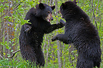 Two black bears fighting in the spring woodlands of Minnesota.