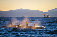 Killer whale Orcinus orca group feeding and travelling in a chorus line, following herring fishing boats. Vestfjord, Arctic Norway, North Atlantic