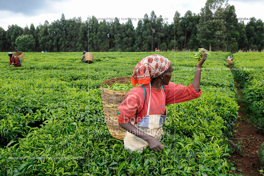 KENYA Limuru, Tigoni,  tea harvest, women pluck green tea leaves in tea garden, two leaves and a bud / KENIA, Tee Ernte, Frauen pfluecken die Teeblaetter