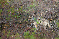 Gray wolf on the tundra in Denali National Park, Alaska.