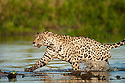 Wild male Jaguar (Panthera onca palustris) running through the shallows of a backwater of the Cuiaba River in late afternoon sun light. Northern Pantanal, Brazil.