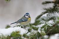Blaumeise, Blau-Meise, Meise im Winter auf verschneitem Fichtenzweig, bei Schnee, Schneefall, Cyanistes caeruleus, Parus caeruleus, blue tit