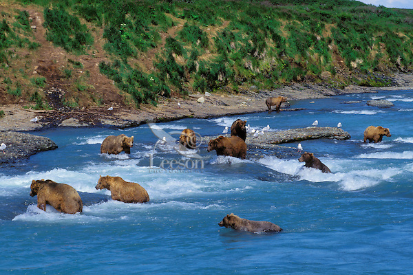 MA1397  Coastal Grizzly Bears fishing for salmon at McNeil River, AK.