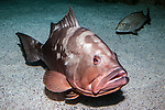 Red grouper sitting on sand habitat 45 segrees to camera full body view