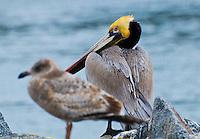 Brown Pelicans in winter at Moss Landing.
