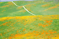 California poppies (Eshscholtzia californica) Goldenfields (Lasthenia californica) and road in Antelope Valley Poppy Preserve
