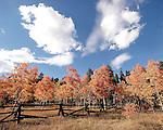 An old crossbuck log fence splits through a fall aspen grove in Golden Gate Canyon State Park, Golden, Colorado.