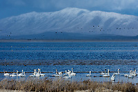 Tundra Swans (Cygnus columbianus), Lower Klamath NWR, Oregon/California.  Feb-March.