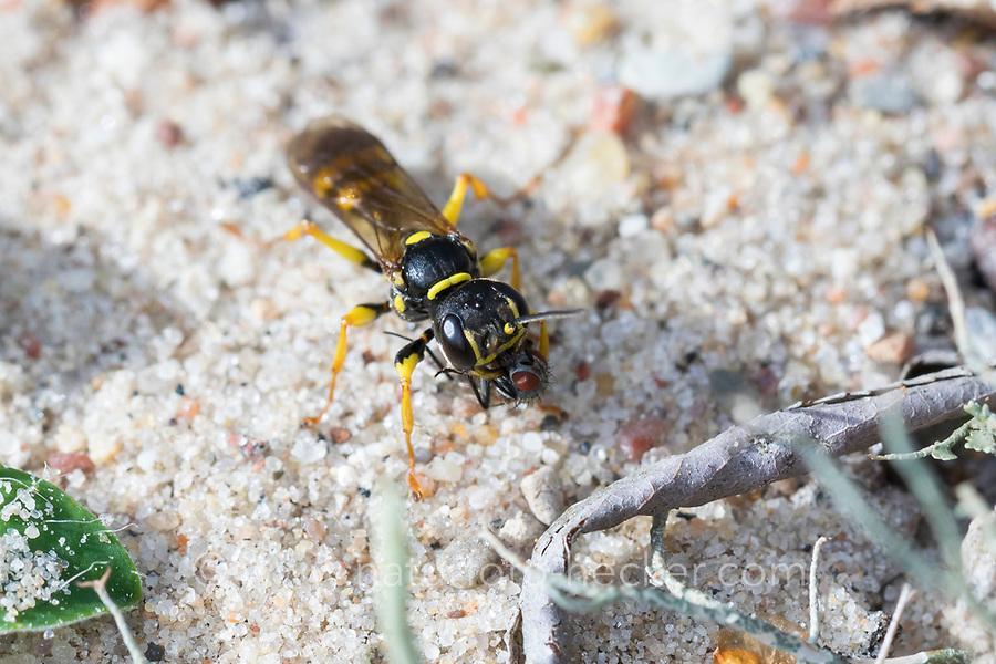 Kotwespe, mit erbeuteter Fliege, Grabwespe, Mellinus arvensis, field digger wasp, Grabwespen, Crabronidae