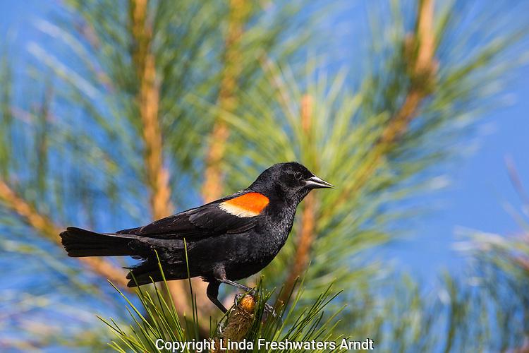 Red-winged Blackbird - Male