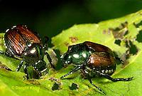 1C13-061a  Japanese Beetle - Popillia japonica