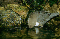 Wasseramsel, bei der Nahrungssuche Kopf unter Wasser tauchend, Wasser-Amsel, Cinclus cinclus, dipper, white-throated dipper