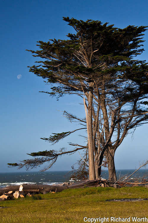 Pines tower over the grasses of the coastal terrace plains while the gibbous moon hovers to the left at Ano Nuevo State Reserve, California.