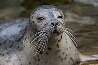 Harbor Seal (Phoca vitulina) Pacific Northwest.  Winter.