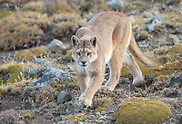 A female puma begins her afternoon hunt, keeping an eye out for unsuspecting guanacos and other prey.