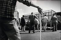 Europe/France/Midi-Pyrénées/12/Aveyron/En Aubrac : Fausse transhumance les vaches sont amenées  en camion au pied des  paturages