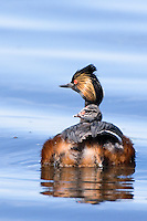 Eared Grebe swimming with one of her young on her back